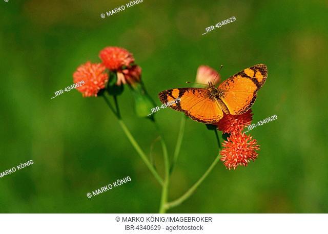 Nymphalidae (Nymphidae) Tropical butterfly (Argyrogrammana sticheli), Iguazú National Park, Paraná, Brazil