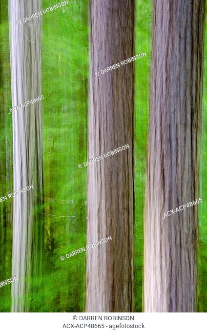 Vertical panning creates a painterly effect of cedar trees in the forests of Mount Robson Provincial Park in the Thompson Okanagan region, Canada