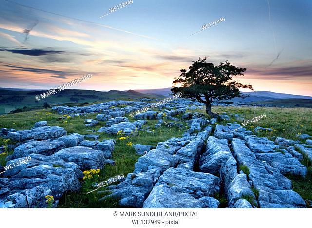 Lone Tree and Limestone Pavement at Sunset