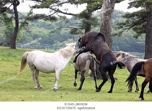 Horse farm, Jeju, Korea