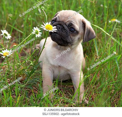 pug puppy - sniffing at flower restrictions: Tierratgeber-Bücher / animal guidebooks