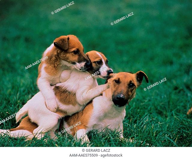 Levrier Whippet nursing pups