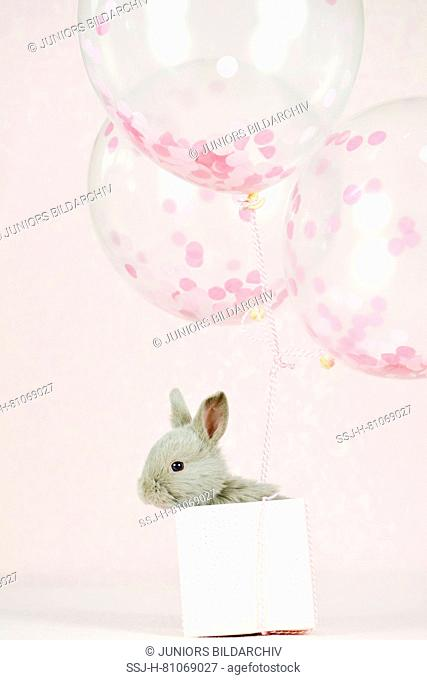 Marburger Rabbit. Bunny (6 weeks old) in a small box, fasted to three balloon. Studio picture against a white background. Germany