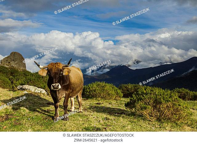 Cow in Picos de Europa National Park, Cantabrian, Spain