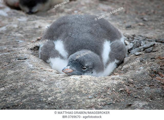 Gentoo Penguin (Pygoscelis papua) chick in the nest, Hannah Point, Livingston Island, South Shetland Islands, Antarctica