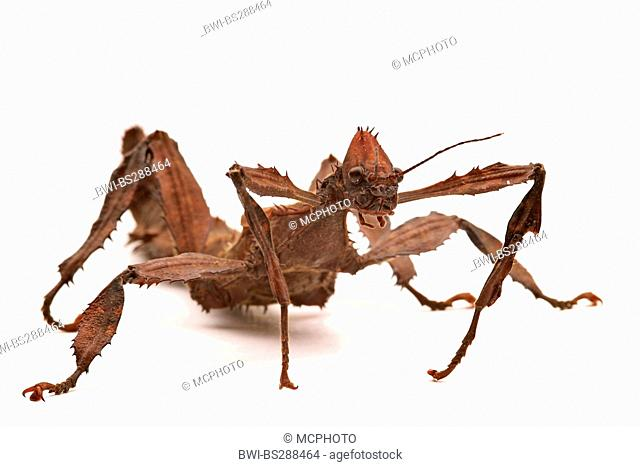 Giant Prickly Stick Insect, Macleay's Spectre (Extatosoma tiaratum), front view