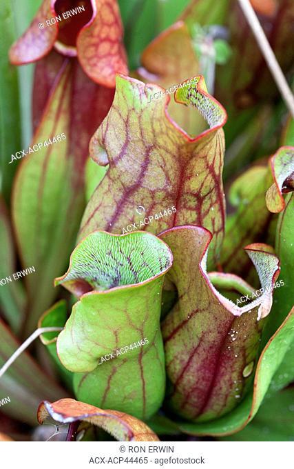 Northern Pitcher Plant Sarracenia purpurea - a carnivorous plant, Manitoulin Island, Ontario, Canada