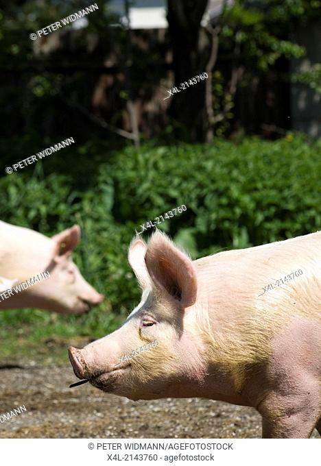 pigs, Austria