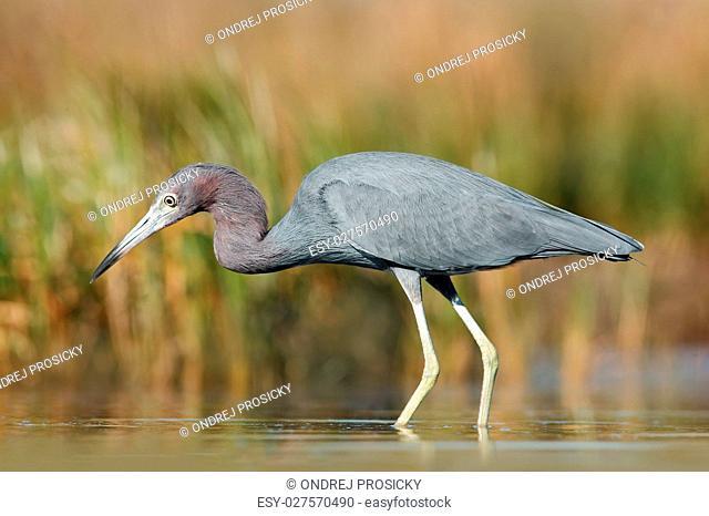 Heron with water grass. Little Blue Heron, Egretta caerulea