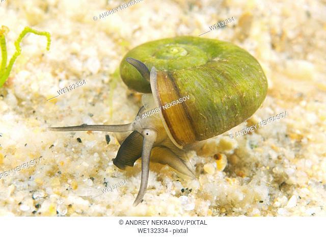 Great Ramshorn Snail (Planorbis planorbis), Lake Baikal, Siberia, Russian Federation, Eurasia
