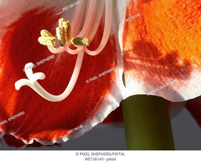 Amaryllis belladonna red and white