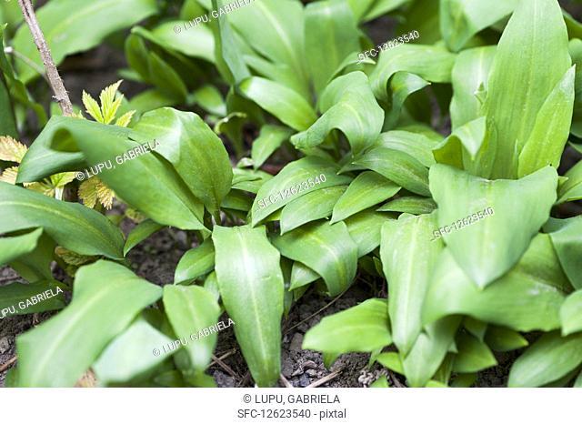 Wild garlic in the greenhouse