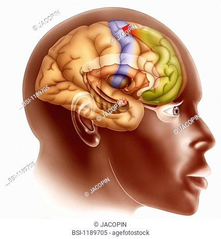 BRAIN, DRAWING<BR>Love at first sight - stage 3 (see image no. 11895 05 for stage 1 and no. 11896 05 for stage 2).  Illustration of what occurs in the brain...