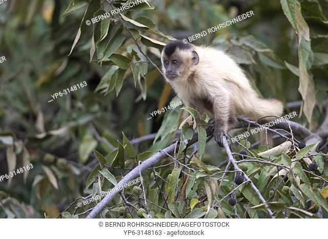 Tufted capuchin (Sapajus apella), young sitting in tree, Pantanal, Mato Grosso, Brazil