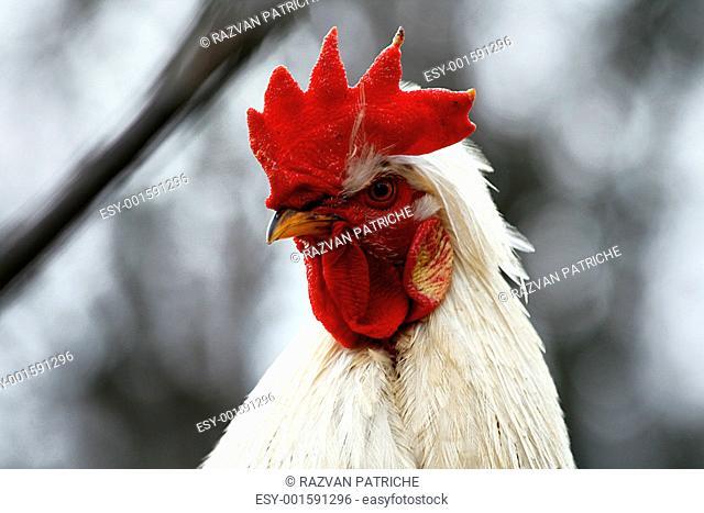 white cock head