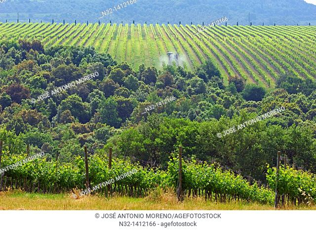 Montalcino, Vineyards, Castello Banfi Vineyards, Val d'Orcia, Orcia Valley, UNESCO World Heritage Site, Siena Province, Tuscany, Tuscany landscape, Italy