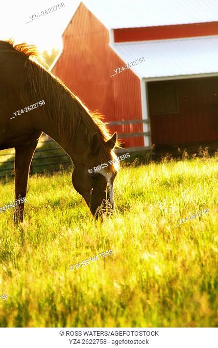 A horse eating in a field near Rockford, Washington, USA