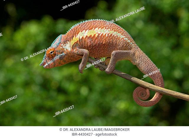 Panther chameleon (Furcifer Pardalis), male, juvenile, on branch in Ankaramibe near Ankaramy river, Northwestern Madagascar, Madagascar