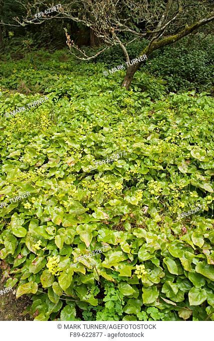 Yellow Bishop's Hat groundcover (Epimedium x versicolor 'Sulphureum'). WA Park Arboretum, Seattle, WA