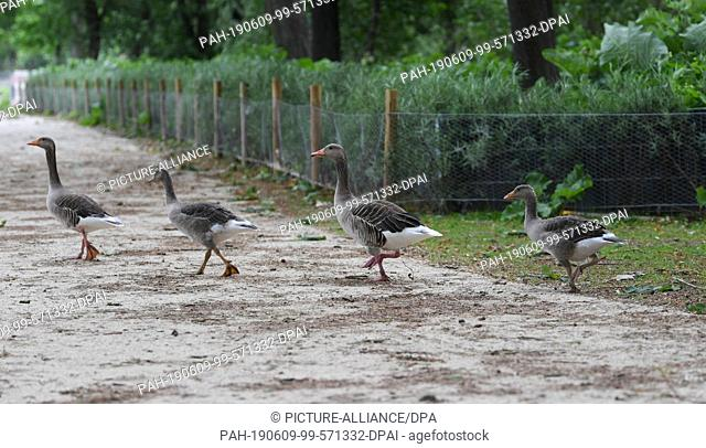 08 June 2019, Hessen, Frankfurt/Main: Grey geese walk past a newly erected fence in Frankfurt's Ostpark. In order to keep the annoying wild geese away from the...