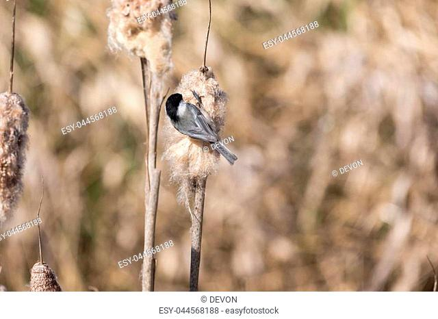 Black capped Chickadee gathering nest material at BC Canada
