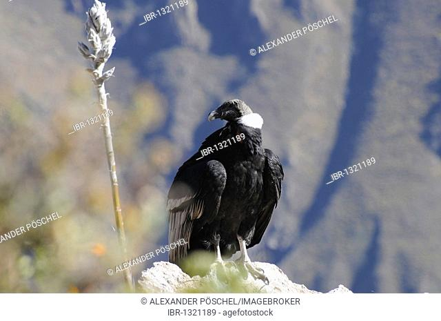 Condor, Andean Condor (Vultur gryphus) on the rocks, Colca Canyon, Peru, South America, Latin America