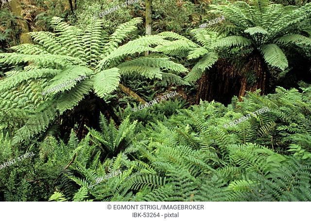 Temperate rainforest, Otway National Park, Great Ocean Road, Victoria, Australia