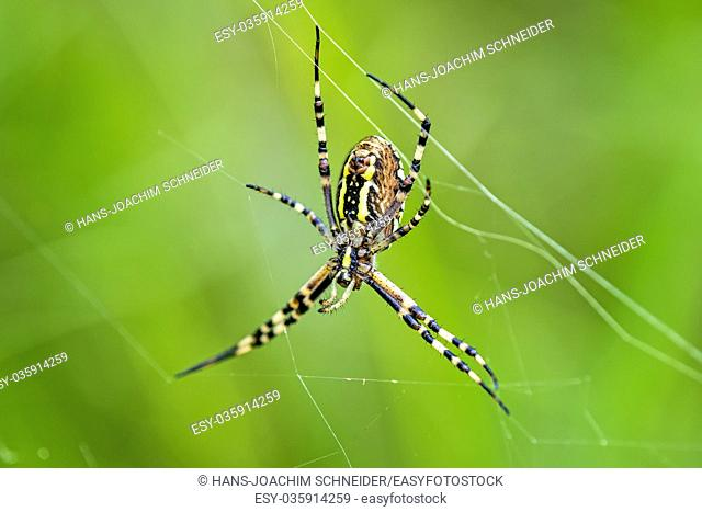 wasp spider, female in its web