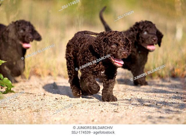 Irish Water Spaniel. Three puppies walking on sand