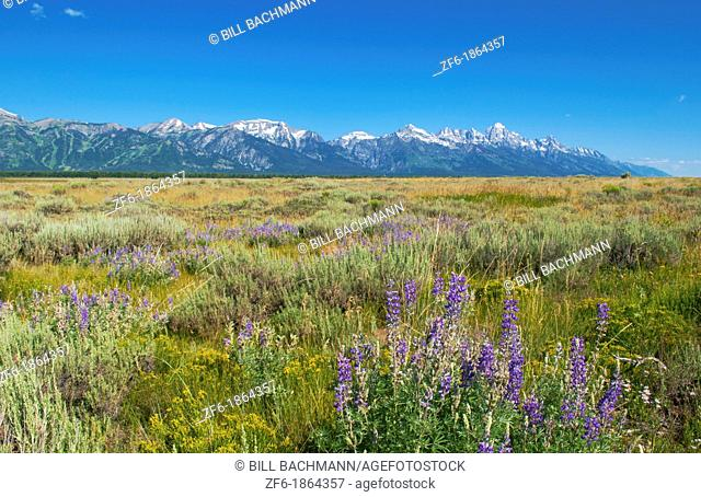 Jackson Hole Wyoming with the beautiful Grand Tetons mountain range and fields with flowers