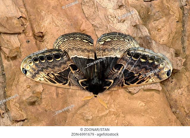 Nachtfalter Dactyloceras widenmanni (Brahmaeidae), Harenna Forest, Bale Mountains, Oromia, Äthiopien / Dactyloceras widenmanni, Brahmin moths (Brahmaeidae)