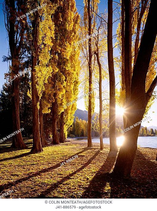 Autumn poplars Lake Wanaka Central Otago New Zealand