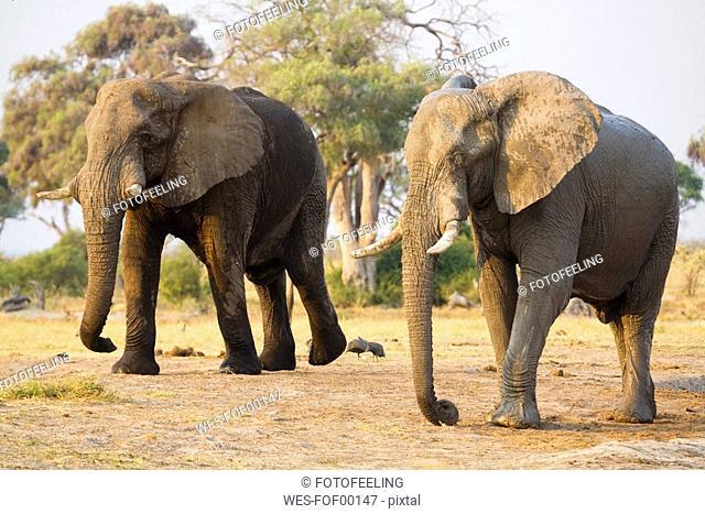 Africa, Botswana, Chobe National Park, two Elefant