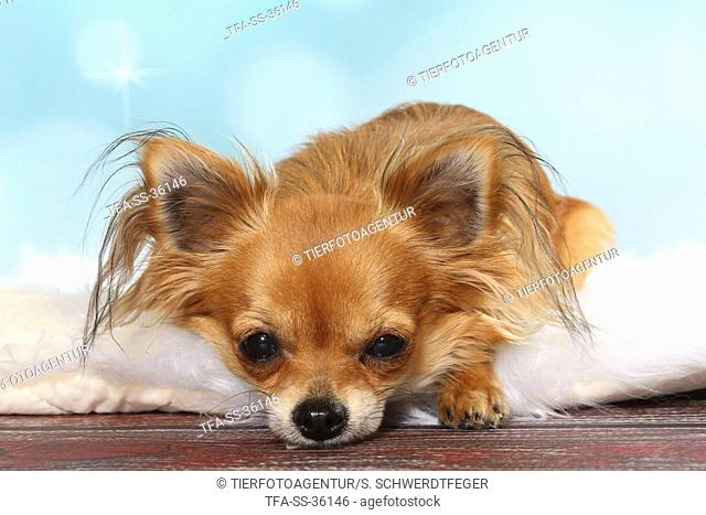 lying longhaired Chihuahua