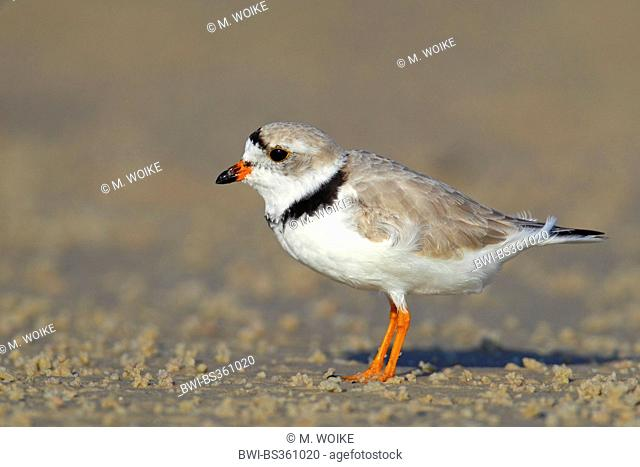 Piping plover (Charadrius melodus), male in breeding plumage stands on the beach, USA, Florida