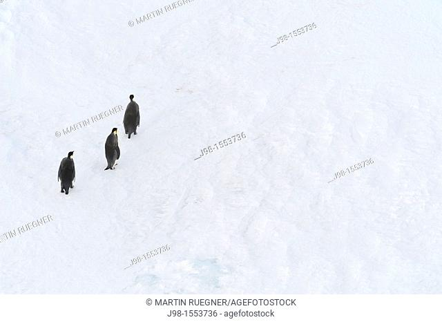 Emperor Penguin Aptenodytes forsteri on the move at pack ice  Weddell Sea, Antarctic Peninsula, Antarctica