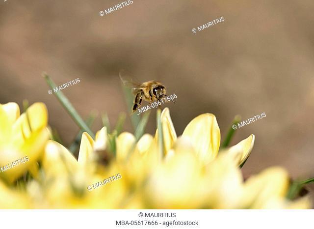 Western honey bee, Apis mellifera, blossoms, frontal, flying, looking at camera