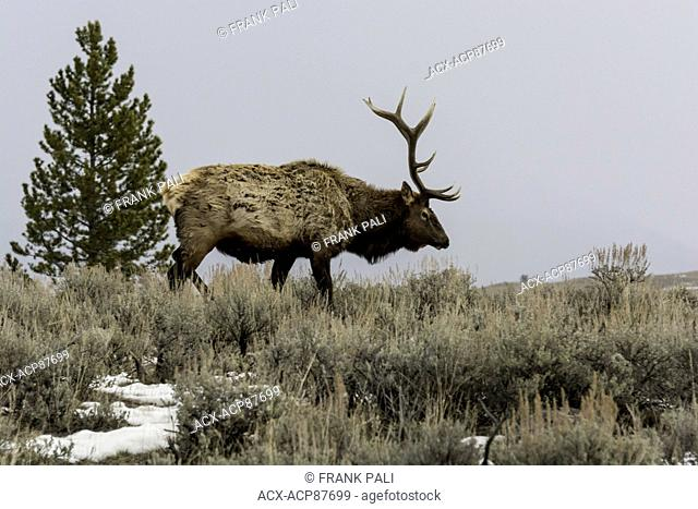 Elk (Cervus elaphus) on a snowy slope on the Columbia Blacktail Plateau. at Yellowstone National Park,Mammoth Hot Springs,Wyoming,USA