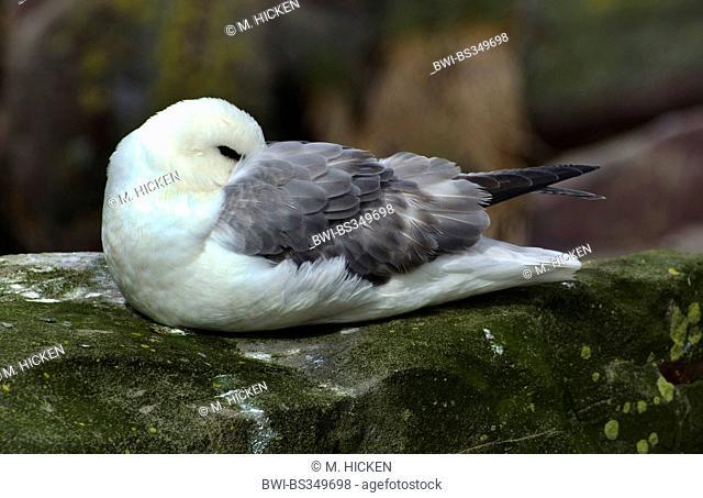 northern fulmar (Fulmarus glacialis), on nest, United Kingdom, England, Northumberland