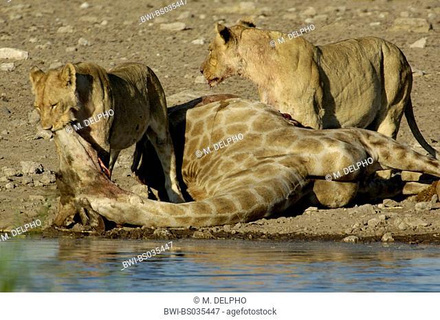 lion (Panthera leo), feeding from captured giraffa, Namibia, Etosha National Park