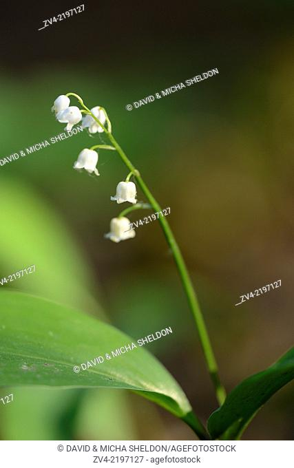 Close-up of the Lily of the Valley (Convallaria majalis)