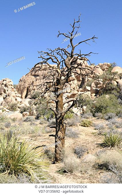 Single-leaf pinyon (Pinus monophylla) is a coniferous tree native to western USA and Baja California (Mexico). Dead specimen