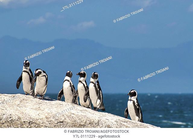 African Penguin (Spheniscus demersus) in Boulderâ. . s Beach, Simonâ. . s Town, South Africa