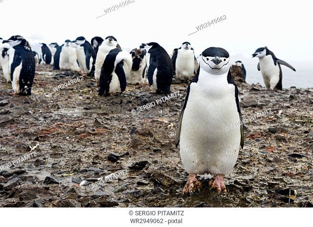 Portrait of a chinstrap penguin (Pygoscelis antarcticus), Half Moon Island, Antarctica, Polar Regions