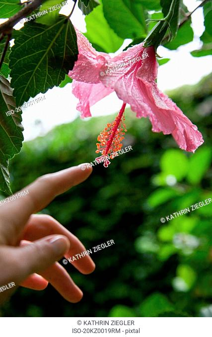 Woman's hand touching hibiscus flower