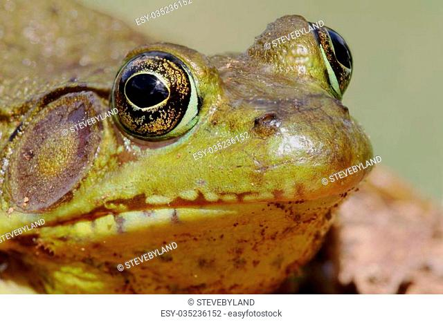 Green Frog (Rana clamitans) on a log with a colorful background