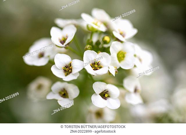 Blossom Panicle. Bad Schallerbach. Austria