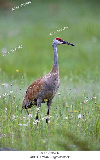 Sandhill Crane Grus canadensis in grasslands, Barrie Island, Manitoulin Island, Ontario, Canada