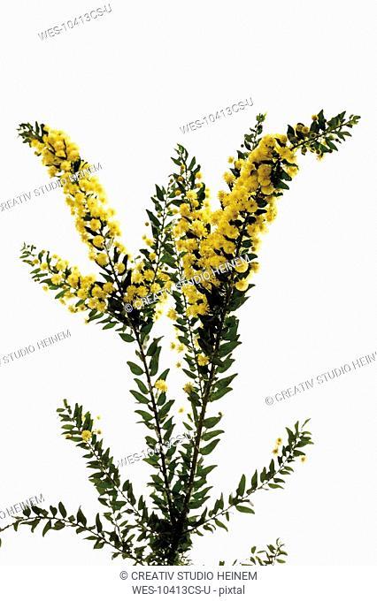 Hedge Wattle, Kangaroo Thorn Acacia armata, Acacia paradoxa, flowering twig