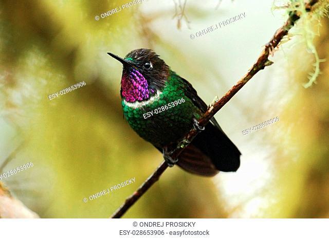 Gorgeted Sunangel, Heliangelus strophianus